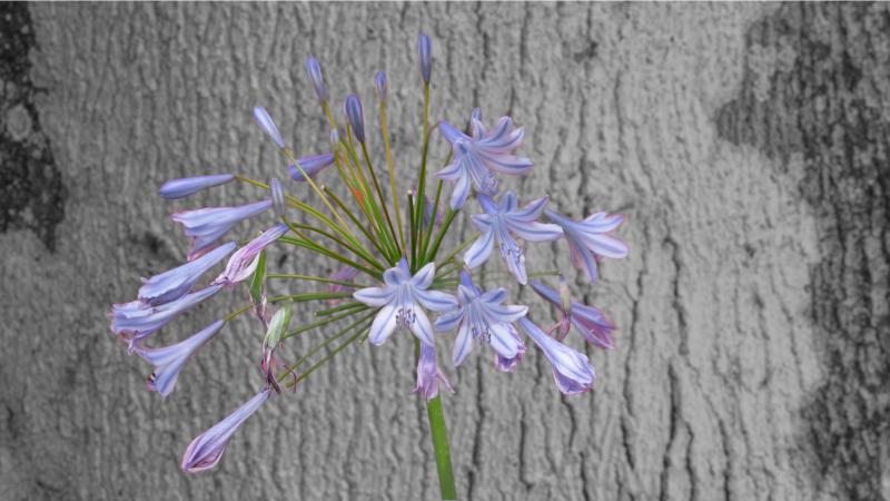 Agapanthus Lily w/Oak