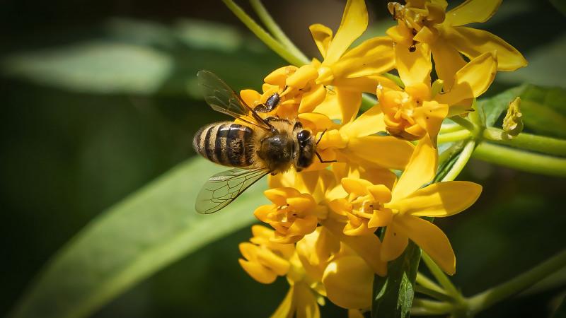Bee On Milkweed 2