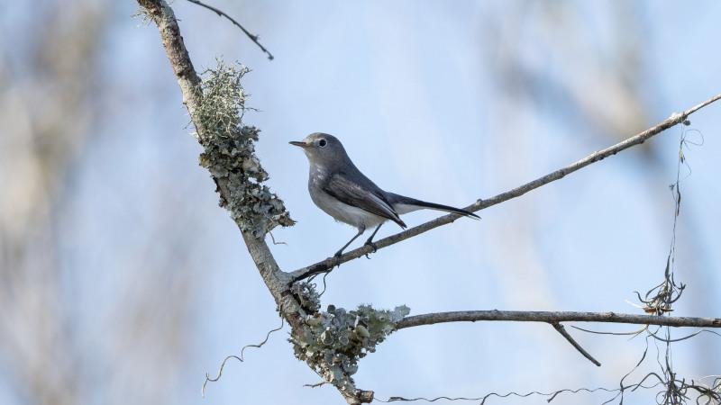 Blue Gray-Gnatcatcher 1