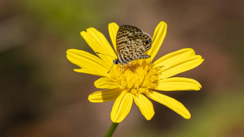 Butterfly w/Blue-Spot