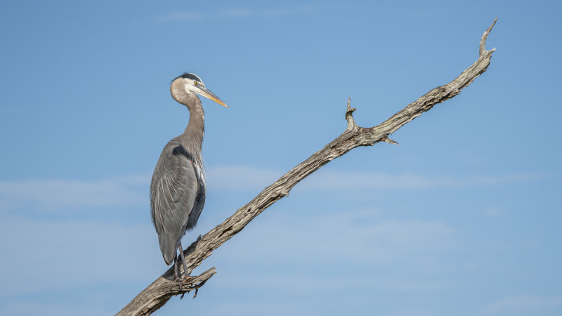 Great Blue Heron On Limb