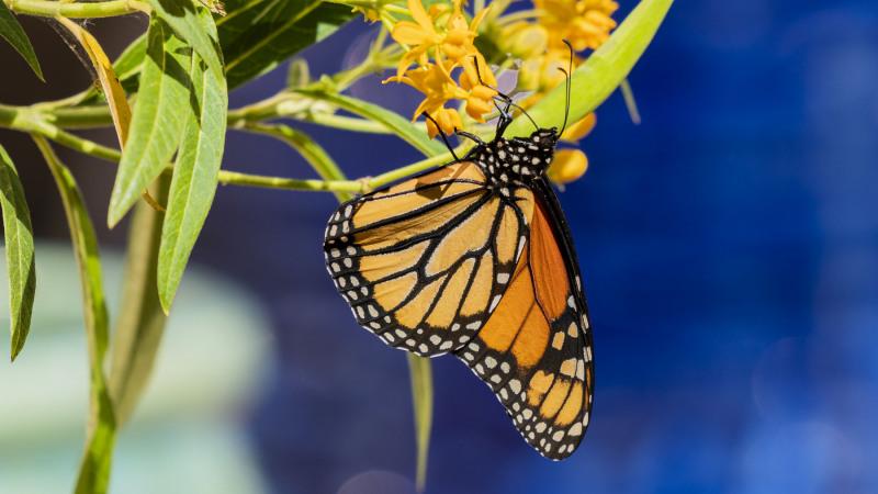 Monarch-Butterfly 2