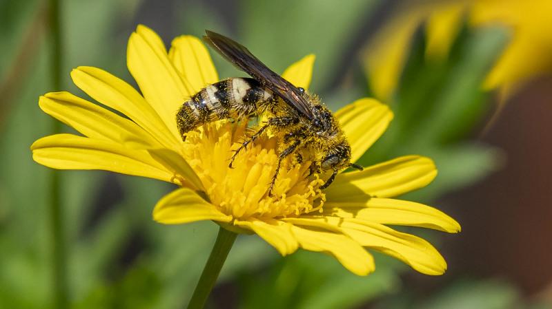 Wasp On Daisy 1